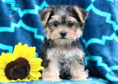 Ricky | Morkie Puppy For Sale | Keystone Puppies  #Morkie #KeystonePuppies