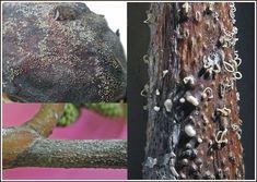 A dió betegségei és a védekezés lehetőségei - Agroinform.hu Fruit