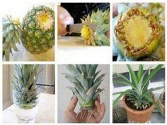Como replantar ananás e abacaxi