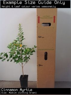 The Cinnamon Myrtle, or Backhousia myrtifolia is . Myrtle Tree, Medium Cut, Green Architecture, Best Food Ever, Leaf Coloring, Types Of Soil, Confectionery, Star Shape, Container Gardening