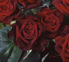 Black Magic Roses - Rose Gardening Made Easy/ only kind of rose I like! Totally having a garden full of these!