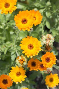 Ringelblumen #calendula #marigold