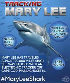 Great white shark named Mary Lee spotted off New Jersey coast near Brigantine | 7online.com