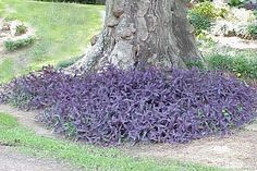 purple heart ground cover