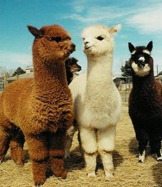 Since alpacas aren't that big they aren't used as pack animals but are bred for their wool.