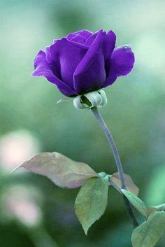 Love Flowers, Beautiful Flowers, Most Beautiful, Purple Roses, Garden, Nature, Plants, Bonito, Garten