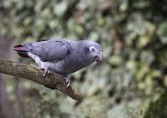 Thomas the Timneh Parrot at Paradise Park by Alison Hales. African Grey Parrot, Pets, Paradise, Animals, Parrot, Animales, Animaux, Animal, Animais
