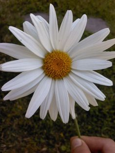 daisy- Symbolises the month of April. Daisies are a sweet symbol of innocence. daisy- Alaska Young