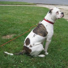 Need Help With Dog-related Issues? This Article Is For You – Info About The Dog American Bulldog Scott, American Bulldog Puppies, American Bulldogs, Basenji Puppy, Vizsla, Bulldog Pics, Bully Dog, Yorkshire Terrier Puppies, Training Your Dog