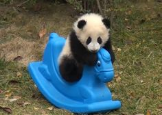 Baby panda rides horse