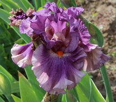 World of Irises: TALL BEARDED IRIS HYBRIDIZER RANDY BROWN AND A VISIT TO HIS PHENOMENAL GARDEN