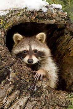 Racoon - Joni Express expressions-of-nature: Rocky by: Stephen Oachs Animals And Pets, Baby Animals, Funny Animals, Cute Animals, Wild Animals, Beautiful Creatures, Animals Beautiful, Cute Raccoon, Racoon