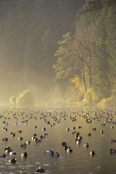 Ducks floating in the mist on Lost Lagoon in Stanley Park, Vancouver, BC, Canada