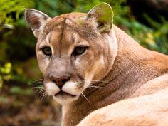 Cougar.jpg (1024×768)