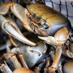 Jueyes or Cocolías | Land/Fresh Water Crabs - For Salmorejo De Jueyes Crab Stew * Ingredients:  12 ounces crabmeat, fresh, canned (drained) or frozen (thawed) + 1 teaspoon ground garlic + 1 ½ tablespoon chopped onion + 2 or 3 olives, chopped + 1 tablespoon chopped green peppers + ½ tablespoon chopped red peppers + 2 drops of Tabasco sauce + 1 tablespoon olive or vegetable oil + ⅓ c tomato sauce  + ½ c water (or substitute with ½ c white wine) + ⅓ Teaspoon of salt.