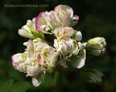 Pelargonie Appleblossom