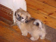 Pekingese puppy:)