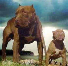 Pitbulls the best dog u can have