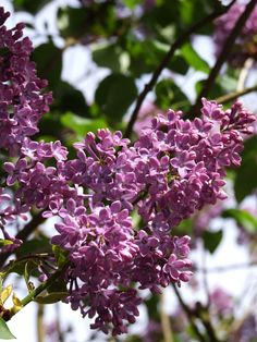 My parents have several huge bushes of lilacs in their yard and each spring they bloom with gorgeous smell and color.  Good memories