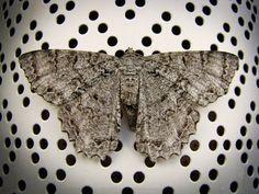 Moth photograph nature photography still life by SilverAndSalt