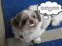 shih tzu dog that loves to cuddle and go for walks more t loup shih ...