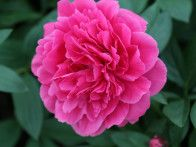 This peony is a hardy grower and a fragrant double variety.