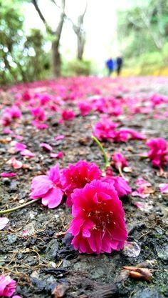 Falling Sakura @台東太麻里青山農場
