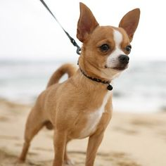 #chihuahua  #breedoftheweek  Friendly Toward Strangers  Stranger-friendly dogs will greet guests with a wagging tail and a nuzzle; others are shy indifferent or even aggressive. However no matter what the breed a dog who was exposed to lots of different types ages sizes and shapes of people as a puppy will respond better to strangers as an adult. #dogs