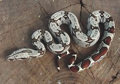 columbian red tail boa. absolutely stunning - this will be my next pet.  :D