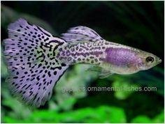 Lavender grass tail guppy