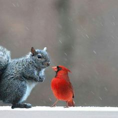 "* * CARDINAL: "" Yer always in de trees. I willz spot grub on de ground for ya on de wing, if yooz finds meez a lady  cardinal ! "" SQUIRREL: I gotta thinks about dat. It's not Spring yet, are yoo desperate? "" CARDINAL: "" CHIRP ! Ask a stupid question........."""