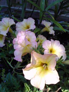 Petunias - Pink Lemonade
