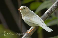Leucistic Willow Warbler