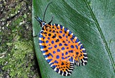 Mystery Insect from Costa Rica is rare diurnal moth