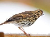 Song thrushes eat snails by cracking their shells on large stones, so place a few around the garden. Also provide them with berry bearing shrubs in winter when insects are scarce.