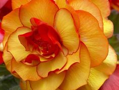Begonia - norrvänd balkong