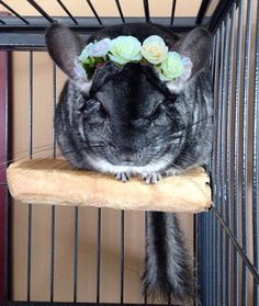 Chinchilla flower crown Fluffy Animals, Animals And Pets, Baby Animals, Cute Animals, Guinea Pig Toys, Guinea Pigs, Chinchilla Cute, Reptile Cage, Chinchillas