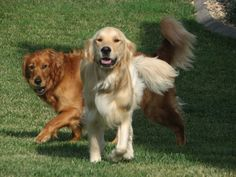 Golden Retrivers playing together.