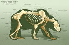 AnatoRef | Bear Anatomy