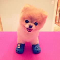 I'm just going to leave a picture of this happy, fluffy dog in Crocs here.