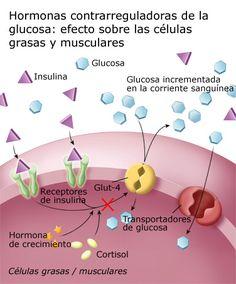 Hormonas contrarreguladoras de la glucosa: efecto sobre la grasa y músculos