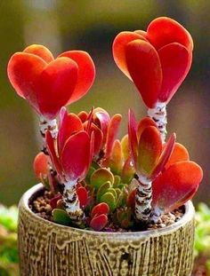 Kalanchoe lucaea – Succulent diy ideas - How to Make Gardening Colorful Succulents, Cacti And Succulents, Planting Succulents, Planting Flowers, Succulent Gardening, Succulent Pots, Garden Plants, House Plants, Exotic Flowers
