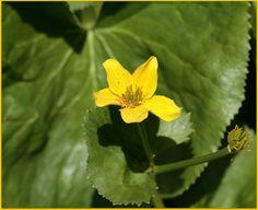 Marsh Marigold Order: Ranunculales Family: Ranunculaceae Genus: Caltha Species: C. palustris