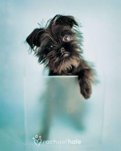 Brussels Griffon! Love this breed, they all look like little monkeys! Dog by HaleRachael.deviantart.com on @DeviantArt