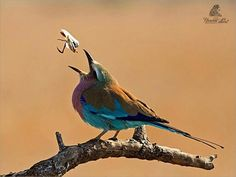 Lunch time by Ursula Celliers - Wildlife Photography on YouPic Lilac Breasted Roller, Gods Creation, Ursula, Wildlife Photography, Lunch Time, Animals, Animales, Animaux, Animal
