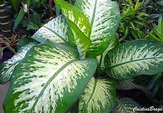Comigo ninguem pode - Dieffenbachia amoena - Herbácea, pertence à família Araceae, nativa da Colômbia e Costa Rica, perene