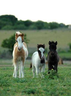 Falabella horses! So cute!