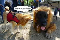 kumababy as a lion! Halloween dog parade