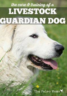 The Care and Training of a Livestock Guardian Dog | The Paleo Mama
