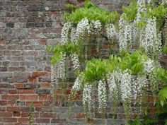 Brick Wall with flowering Vines | Above: Maintained wisteria allows the brick to show through, as it ...
